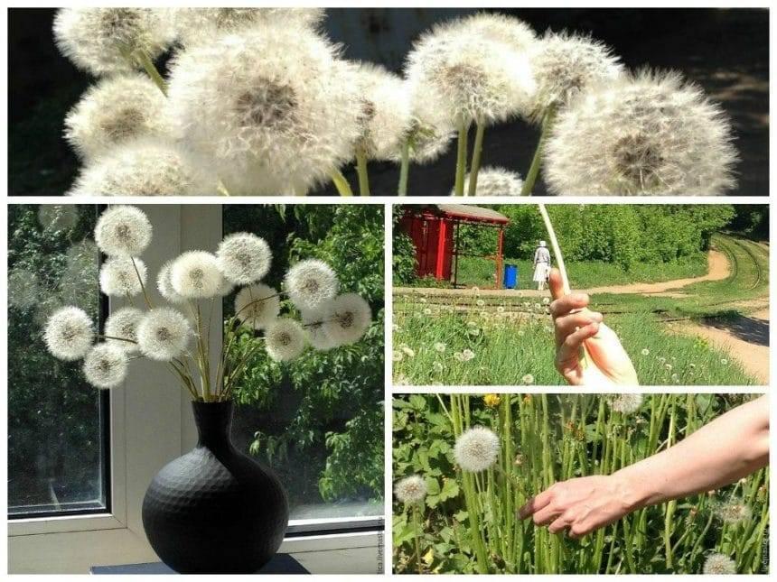 A fantastic bouquet of dandelions