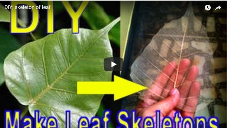How to make a skeleton of leaf